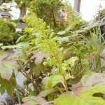 朝田寺の紫陽花 かしわ葉紫陽花