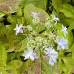 山紫陽花~深山八重
