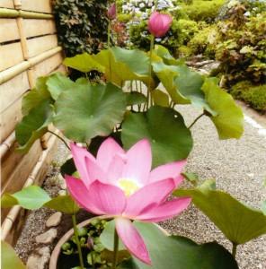 朝田寺紅蓮 H24.6.25開花