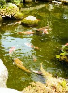 朝田の地蔵の鯉はいただきもの