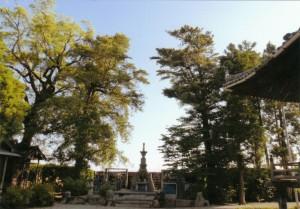 朝田寺の大樹~槇