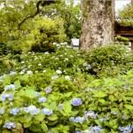 大楠の下の紫陽花